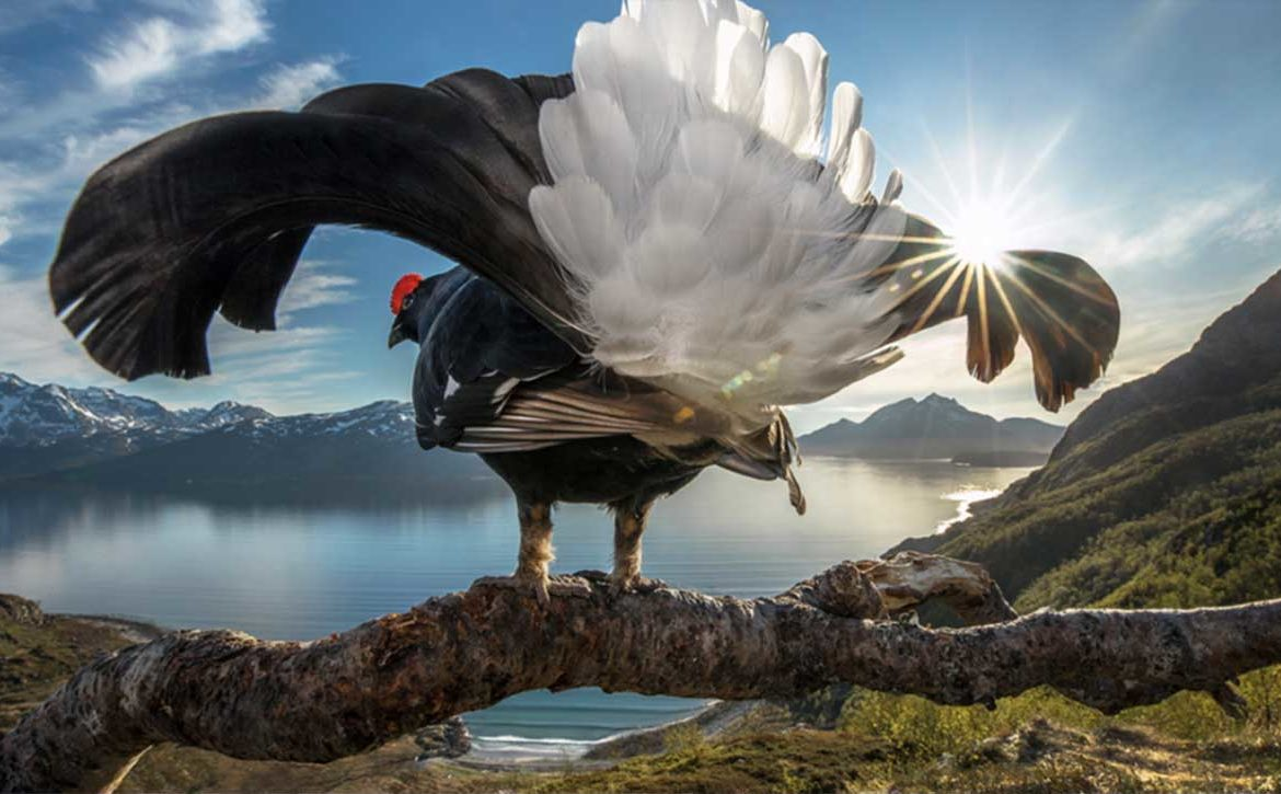 Grand Prize Black Grouse Showing Off, Photographer: Audun Rikardsen BigPicture 2019