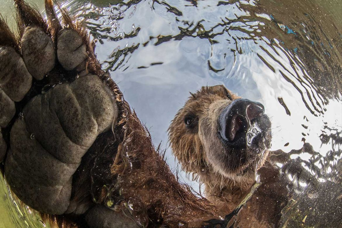 Terrestrial Wild Life Brown Bear Photographer: Mike Korostelev BigPicture 2019